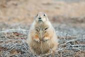 Soft Prairie Dog