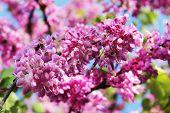 Flowers Of Judas Tree