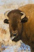 Rude Bison