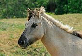 Semi-wild Polish Konik Pony poster