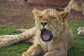 Yawning Lion Cub Portrait 1