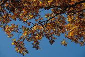 Blue sky and autumn leaves changing red to yellow (close-up)