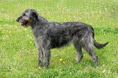 Typical Grey Irish Wolfhound