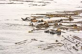 picture of raft  - A Raft of Sea Otters near Tofino on Vancouver Island - JPG