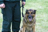 Bordeguard Officer With German Shepherd On K-9 Training.