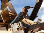 Green Heron in breeding plumage on a pile of flotsam at Terre-Haute, Guadeloupe