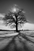One Majestic Oak On Winter Field And Sunlight