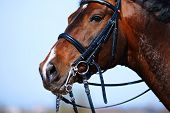 stock photo of bridle  - Brown stallion - JPG