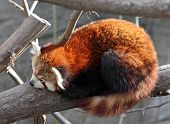 Red panda sleeping on a tree, zoo,Vienna