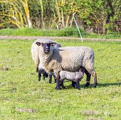 foto of spring lambs  - Spring pasture with flock of sheep and lambs - JPG