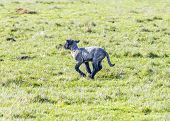 picture of spring lambs  - Spring pasture with flock of sheep and lambs - JPG