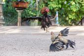 picture of vicious  - Fighting cocks in a vicious attack clawing at each other with their feet and legs - JPG