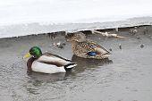 Mallard Duck, Drakes & Hens