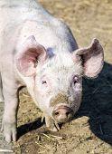 Flock Of Pigs In A Bio Farm