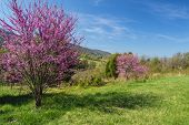 Redbud Trees on the Blue Ridge Parkway