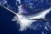 stock photo of sailfish  - Atlantic white marlin big game sport fishing over blue ocean saltwater - JPG