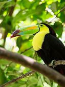 Portrait Of Keel-billed Toucan Bird
