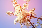 Cherry blossom - spring, pink shade, may