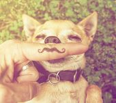 a cute chihuahua with a mustache finger in front of him done with a retro vintage instagram filter