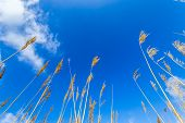Reeds Of Grass With Blue Sky