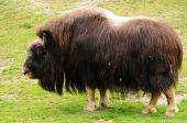 Northern Musk Ox