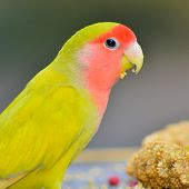 Yellow Lovebird