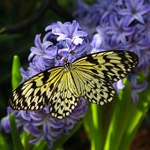 Idea leuconoe butterfly also named paper kite, rice paper or large tree nymph   on a hyacinth flower