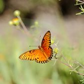 stock photo of gulf mexico  - Gulf Fritillary Butterfly flying free in Mexico - JPG