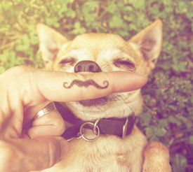 stock photo of furry animal  - a cute chihuahua with a mustache finger in front of him done with a retro vintage instagram filter  - JPG