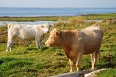 Cattle At Pastureland