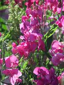 stock photo of sweetpea  - Colorful wild sweetpeas - JPG