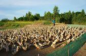 Asian Farmer, Flock Of Duck, Vietnamese Village