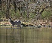 female deer wading