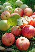 Organic apples gathered in fall, natural light