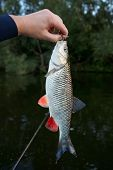 Chub in fisherman's hand, caught on a plastic bait