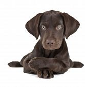 foto of mutts  - Cute brown puppy posing with paws crossed - JPG