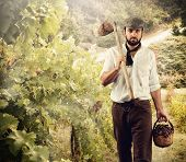 Winegrower While Harvest Grapes