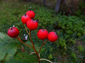 pic of rowan berry  - Mountain ash - JPG