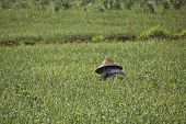 Cultivating Rice In The Shan State