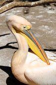 Great Pelican (pelecanus Onocrotalus) Portrait