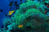 Colorful orange and white striped tropical fish swimming over an offshore coral reef in a blue ocean