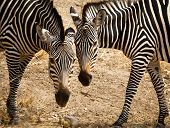 Two zebras face to face