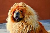 picture of chow-chow  - Portrait of brown friendly chow - JPG
