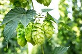 stock photo of hop-plant  - ripened hop cones in the hop garden - JPG