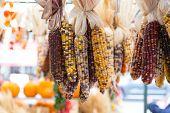 Flint/indian Corn