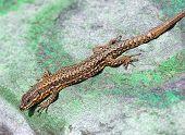 Lizard on Graffiti
