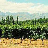 Vineyard In West Cape(South Africa)