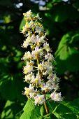 Flower Chestnut (lat. Castanea)