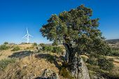 holm oak and modern wind turbines against blue sky