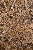 stock photo of pine-needle  - Closeup of the ground in the forest in the fall season with pine cones brown - JPG